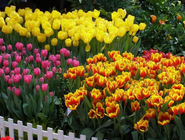 Сроки посадки тюльпанов