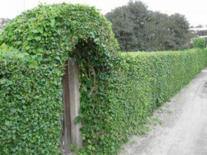 Выбираем кустарник для изгороди