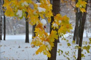 Клён зимой