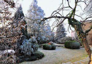 Хвойные деревья в саду зимой