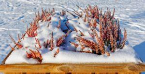 Зимние цветы в ландшафтном дизайне
